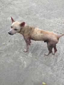 Scabby dog Khao