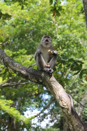 Monkey in Satun park
